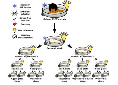 Mutations accumulate in an experimental design